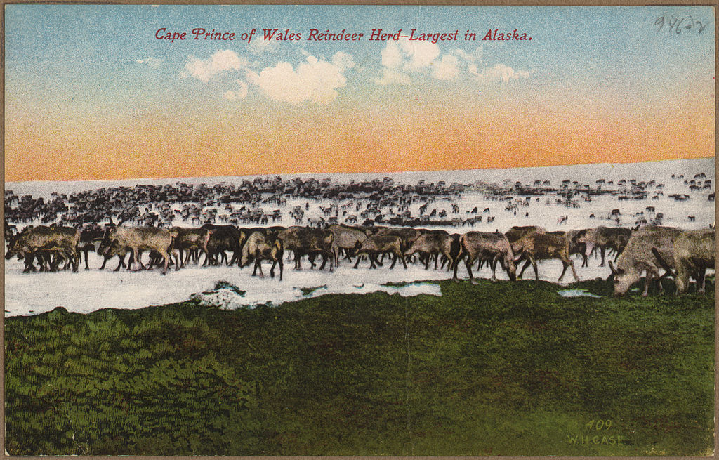 Cape Prince of Wales reindeer herd